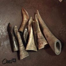 Geitenhoorn 15-20 cm