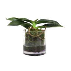 HK Living Gewortelde phalaenopsis ochidee vaas