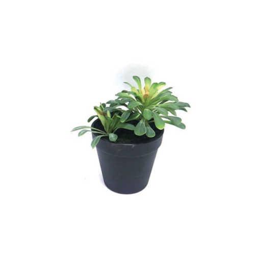 Nepplant - Succulent vetplant 16,5cm
