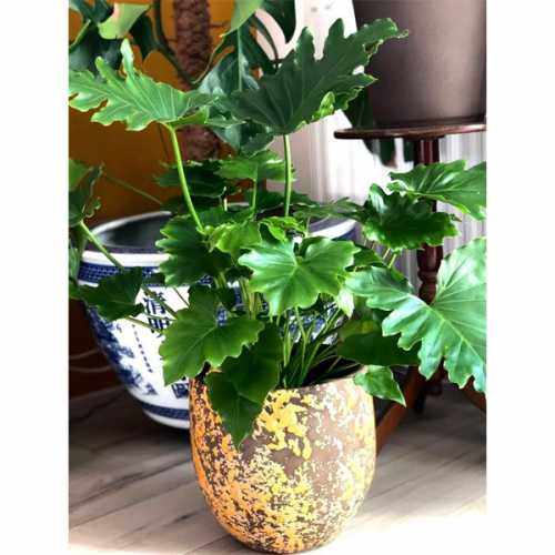 Grow You Ownn Kweekset - Philodendron Selloum