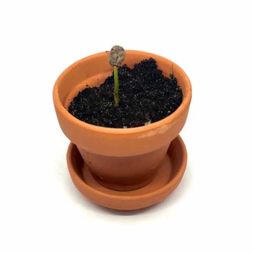 Grow You Ownn Kweekset - Coffea Arabica (koffieplant)
