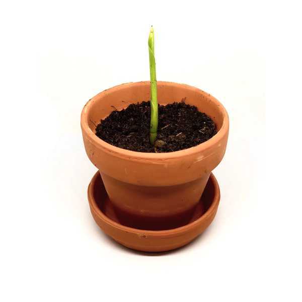 Grow You Ownn Kweekset - Strelitzia Nicolai