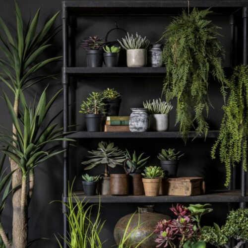 Nepplant - Succulent Crassula in pot